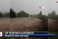 Nevşehir'de inekler sele kapıldı
