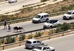 Aniden yola fırladı... Sürücüler ne yapacağını bilemedi