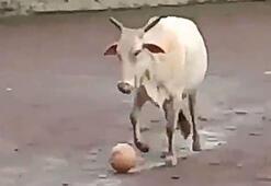 Hindistan'da topla oynayan inek dünya çapında şöhreti yakaladı