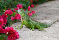 ABD'de iguanaları öldürün çağrısı