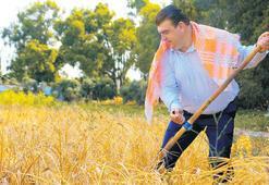 Karakılçık buğdayı hasadı başladı