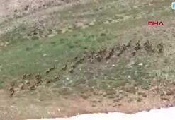 Tuncelide yaban keçileri sürü halinde görüntülendi