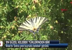 Sivasta Zebra çatal kuyruklu kelebek görüldü