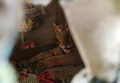 Selden kaçarken bitap düşen kaplan eve sığındı