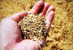 Tohum üreticilerinde destek ödemesi sevinci