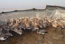 İzmir Kuş Cenneti'nde yavru flamingolar halkalandı