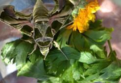Manisa'da Mekik Kelebeği bulundu