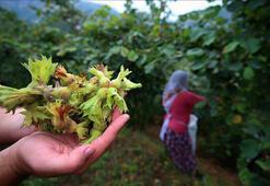 Fındık üreticileri huzur içinde hasat yapıyor