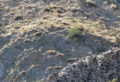 Yaban keçi sürüsü kameralara yansıdı