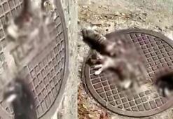 Antalya'da kan donduran olay Kedileri parçalamışlar