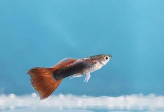 Uzun ömürlü ve bakımı kolay akvaryum balıkları