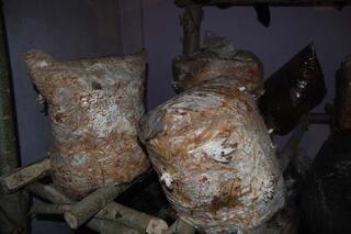 Evinde istiridye mantarı yetiştiriyor