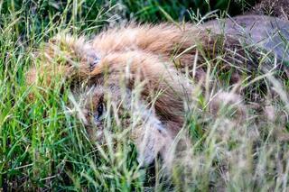 Aslanın son dakikaları
