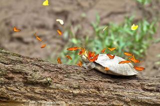 Kelebekler timsah gözyaşını içiyormuş
