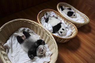 Bebek pandalar görücüye çıkarıldı