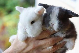 Bir avuç tavşan