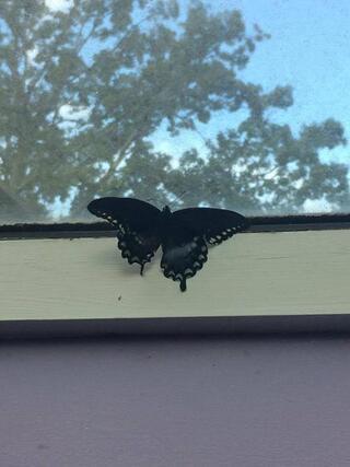 Tırtıl nasıl kelebeğe dönüşür