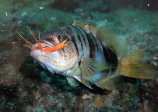 Antalya Körfezinde biyolojik işgal