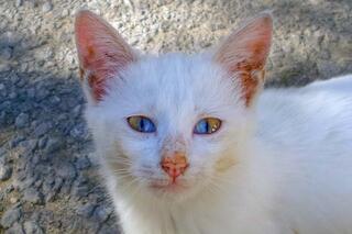 Vanda gözleri iki renkli olan kedi