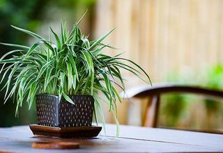 Yatak odanızda bulunması gereken bitkiler