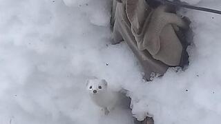 Tuncelide beyaz gelincik görüntülendi