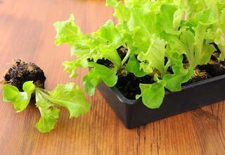 Evde basit yöntemle yetiştirebileceğiniz sebzeler