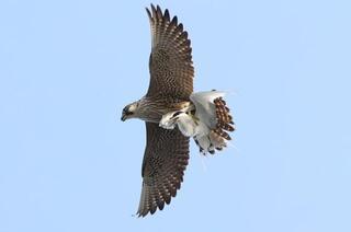 Dünyanın en hızlı kuşu o ilimizde böyle görüntülendi
