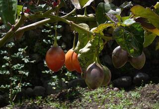 Sadece dört dilim domates ile domates yetiştirin