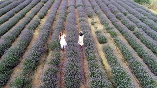 Mor tarlalarda hasat şenliği