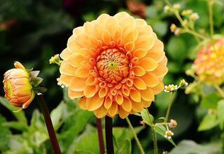Evinize şans getiren bitki: Yıldız çiçeği