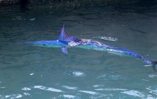 Dünyanın en hızlı deniz canlısı Kemerde görüntülendi