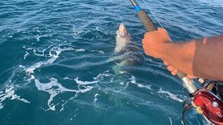 Çanakkaleli amatör balıkçı oltayı çekince şoke oldu Tam 4 metre...