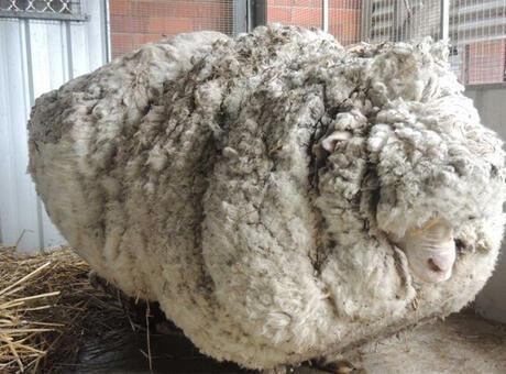 Haberler: Dünya rekoru sahibiydi! O koyun öldü...