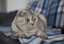 En çok aranan kedi cinsi: Scottish Fold