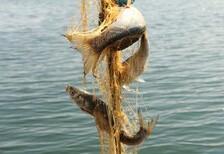 Lezzeti benzersiz balık: İnci kefali