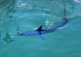 Dünyanın en hızlı deniz canlısı Kemer'de görüntülendi!