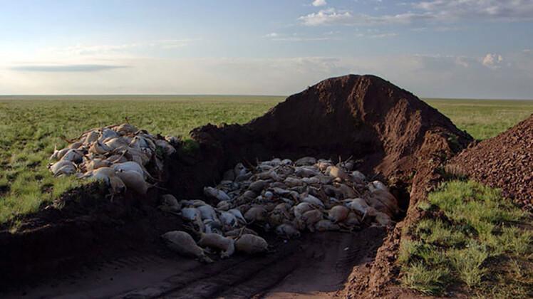 Birkaç günde 120 bin antilop nasıl öldü?