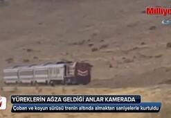 Çoban ve koyun sürüsü trenin altında almaktan saniyelerle kurtuldu