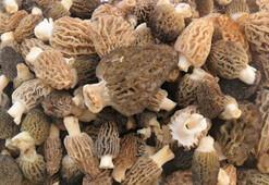 Kazdağlarının kuzugöbeği mantarı gramla satılıyor