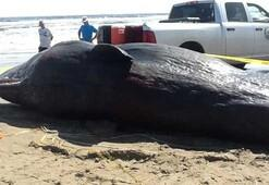 Gizemli balina ölümlerinin sebebi Kuzey Işıkları