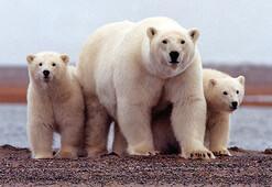 Kutup ayıları şehre indi
