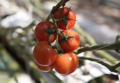 Dünya Türk domatesinden vazgeçemiyor