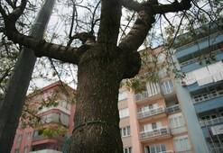 Ağaçları istila eden binlerce kurt, mahalleliyi ikiye böldü