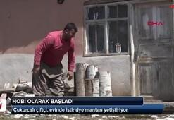 Çukurcalı çiftçi, evinde istiridye mantarı yetiştiriyor