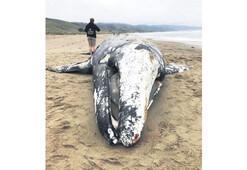 Balinalar açlık kurbanı