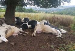 Sahibi bu halde buldu 8i gebe 10 inek...