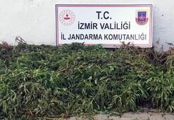 İzmirde 7 bin kök Hint keneviri ele geçirildi