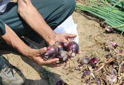 Balık soğanı üreticisi 2 bin ton rekolte bekliyor
