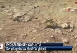 Dev çekirge bu kez Mardinde görüldü