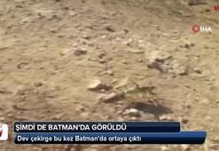 Dev çekirge bu kez Batmanda görüldü